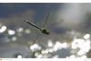 Ni12020emperor20dragonfly20a3