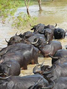 Water_buffalo_1_1
