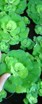 Water_hyacinth_1